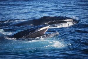 Whale watching: Feeding humpbacks