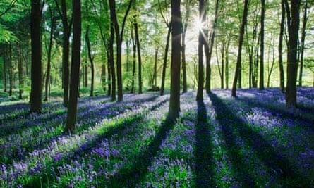 Bluebells in spring woodlands