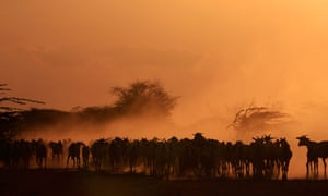 A herd of goats are seen in a field during sun-set at the Ifo refugee camp in Dadaab