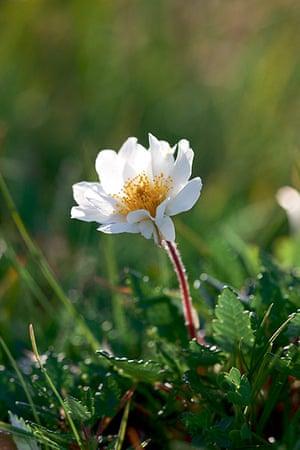 Britain's wild flowers: Mountain Avens