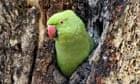 """Rose-ringed Parakeet (Psittacula krameri), coming out of nest hole"""