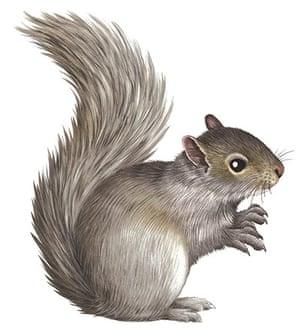 Mammals spotter's guide: Grey squirrel