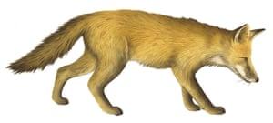 Mammals spotter's guide: Fox illustration