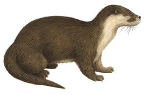 Mammals spotter's guide: Otter illustration