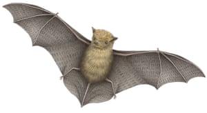 Mammals spotter's guide: Pipistrelle bat illustration
