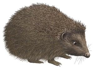 Mammals spotter's guide: Hedgehog illustration