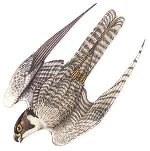 Birds spotter's gallery: Peregrine illustration