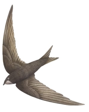 Birds spotter's gallery: Swift illustration