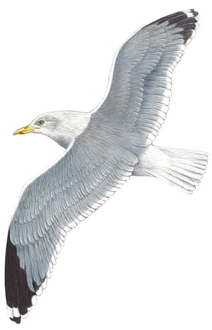 Birds spotter's gallery: Herring gull illustration