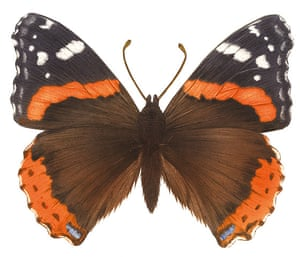 Insects spotter's gallery: Red admiral illustration
