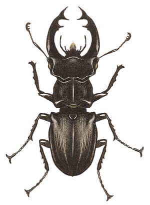 Insects spotter's gallery: Stag beetle illustration