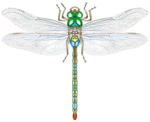 Insects spotter's gallery: Emperor dragonfly illustration