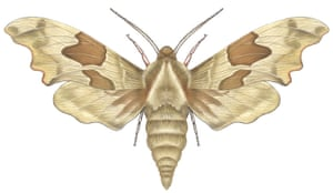Insects spotter's gallery: Lime hawk moth illustration