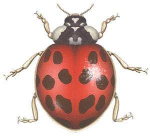Insects spotter's gallery: Harlequin ladybird illustration