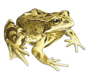 Other wildlife gallery: Common frog illustration