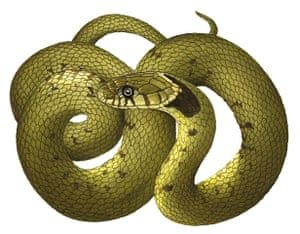 Other wildlife gallery: Grass snake illustration
