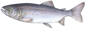 Other wildlife gallery: Atlantic salmon illustration