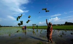 Indian agricultural workers throw paddy saplings as they distribute them for planting