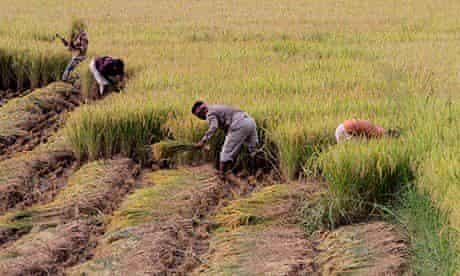 Indian Farmers cut paddy in a field in Baruipur village