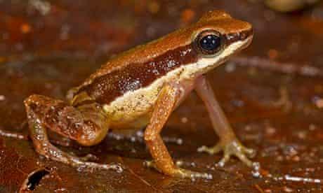 Amazon species: The thumbnail-sized 'thimble frog' (<em>Allobates amissibilis</em>)