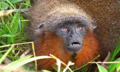 Amazon species: A 'purring' Caqueta titi monkey (<em>Callicebus caquetensis</em>)