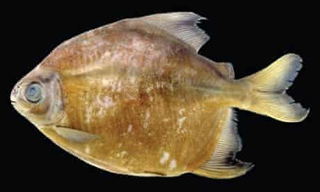 Amazon species: The strictly herbivorous 'vegetarian piranha' (<em>Tometes camunani</em>)