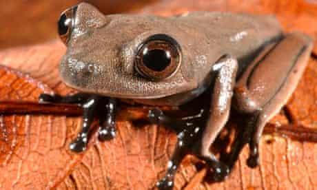 "Chocolate-colored ""cocoa"" frog (Hypsiboas sp.) found in Suriname"