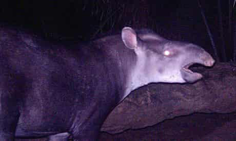 Scientists have uncovered a new tapir in Brazil