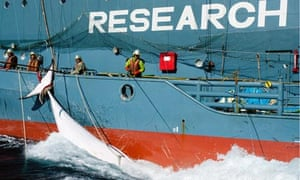 Sea Shepherd vessel Bob Barker tries to stop a from being whale loaded on to the Nisshin Maru