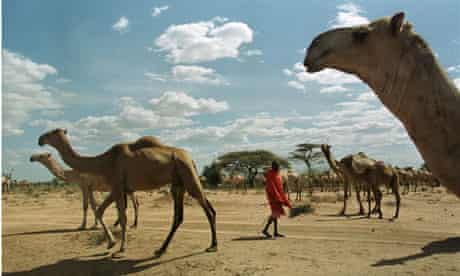 A Maasai shepherds a camel herd in Elangata Wuas, 70km south-west of the kenyan capital, Nairobi