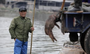 Dead pigs are removed from a Shanghai river