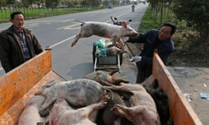 A worker moves a dead pig on to a truck in Zhulin village, Jiaxing