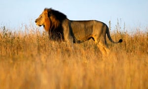A lion in Nairobi's National Park