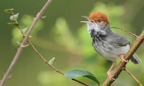 Cambodian tailorbird found in Phnom Penh