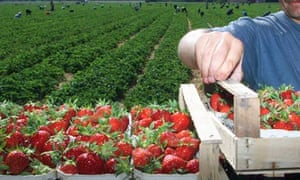 Strawberry pickers in Germany