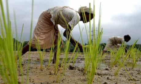 Women working in a paddy field in India