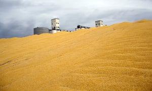 Surplus Corn Harvest in Northeast Colorado