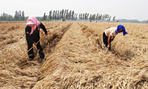 MDG : Rural wages rising in Asia : Chinese labourers harvesting a wheat field