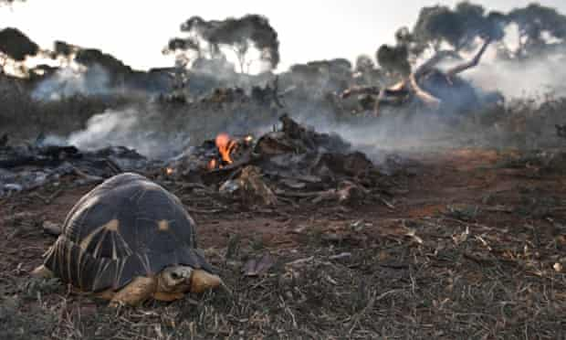 Endangered species Radiated tortoise with destroyed habitat in Madagascar