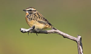Whinchat Saxicola rubetra female perched on twig