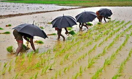 MDG : Women farmers plant saplings in a paddy field,  Bhubaneswar, India