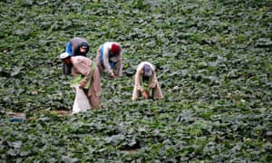 Farmers harvest cucumbers in Attcak village, Pakistan