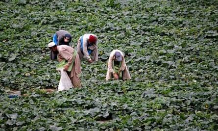 Farmers harvest cucumbers in Attcak village, Pakistan