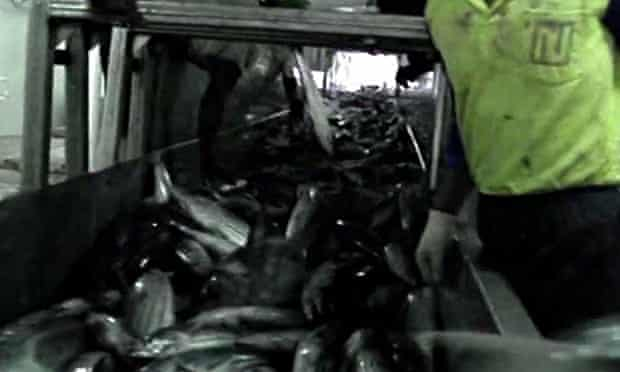 Still from a shocking Greenpeace undercover video: dirty tuna fishing