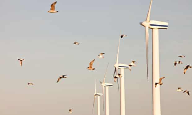 Wind turbines and birds : lock of Herring Gulls