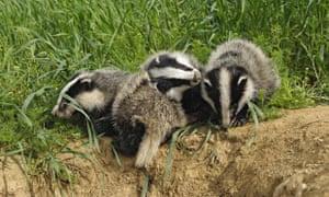 European badgers, Meles meles