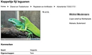 Wildlife online trade : Pair of Fiji banded iguana on a Dutch website