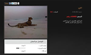 Cheetah for sale online for 65 000 UAE dirhams (around 10 000£) from a website based in UAE