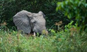 An elephant in Congo's Odzala-Kokoua national park, where pygmy Brice Mouapele is eco-guard