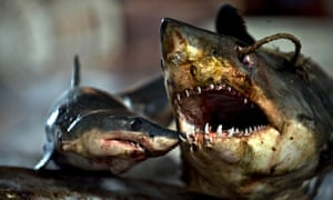 Two slaughtered sharks at a processing factory located in Pu Qi in China's Zhejiang province